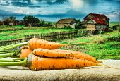 pic of exhumed  - a raw carrots from the garden - JPG