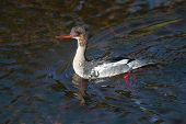 Red-breasted merganser, Mergus serrator