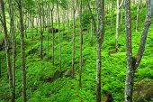 Trees green nature background. Latex rubber trees plantation in tropical forest