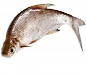 One Fresh bream fish isolated on a white background