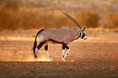 Gemsbok walking on dusty soil with last light of day ( Oryx gazella) - Kalahari -  South Africa