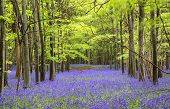 image of harebell  - Beautiful carpet of bluebell flowers in Spring forest landscape - JPG