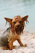 Serious Portrait Of Wet Yorkshire Terrier