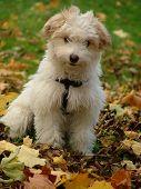 Постер, плакат: Милый белый щенок