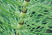image of horsetail  - Horsetail Stem close up  - JPG