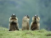 foto of marmot  - Three Marmots - JPG