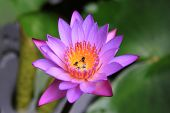 picture of water bug  - Purple Petal Lotus Flower  - JPG