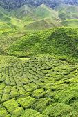 stock photo of cameron highland  - Tea Plantation at the Cameron Highlands - JPG