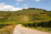 View on the famous wine route in Alsace France offers this view on a curving road through the vineyards near Riquewihr