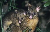 image of nocturnal animal  - Two Possoms in grass at night - JPG