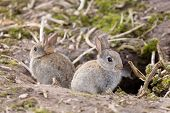image of rabbit hole  - Two baby wild European rabbits sit outside their burrow at a rabbit warren in the UK - JPG