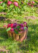 Bushel basket full of freshly picked MacIntosh apples in the orchard.