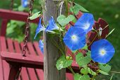 stock photo of bine  - Sky blue morning glory growing alongside an outdoor wooden swing - JPG