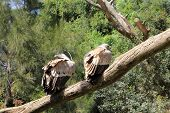 Two Griffons Vulture