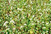 Buckwheat Flowers Closeup