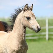 Welsh Mountain Pony Foal