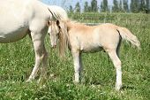 Gorgeous Welsh Mountain Pony Foal