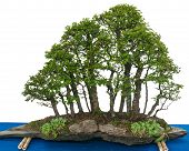 Forest With Elm Bonsai Trees (zelkova Nire)