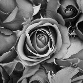 Tristeza Rose