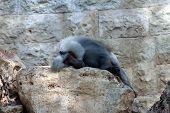 Lying Baboon