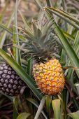ripe Hawaii pineapple on pineapple plant found in plantation field