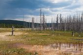Dead Forest In Yellowstone National Park