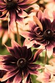 foto of black-eyed susans  - Bright yellow rudbeckia or Black Eyed Susan flowers in the garden