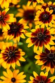 image of black-eyed susans  - Bright yellow rudbeckia or Black Eyed Susan flowers in the garden