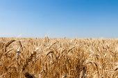 Ripe golden wheat isolated on sky