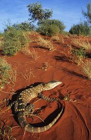 pic of goanna  - Goanna in desert - JPG
