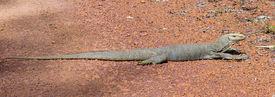 stock photo of goanna  - Thailand goanna resting on red stone road - JPG