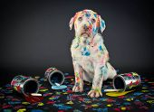 image of cans  - A silly Lab puppy looking like he just got caught getting into paint cans and making a colorful mess - JPG