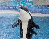 Killer whale in motion splash water