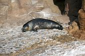 Sea lion relaxing and slepping
