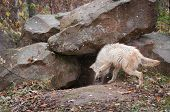 Blonde Wolf (Canis lupus) Checks Out Den