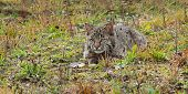 Bobcat Kitten (Lynx rufus) Lies In Grasses