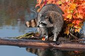 Raccoon (Procyon lotor) Stands On Log In Water Looking Left