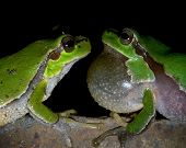 Two tree frogs look at each other on a black background