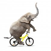 African elephant (Loxodonta africana) riding a bike.