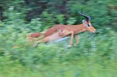 Impala - Wildlife Background from Africa - Blur of Speed and Agility