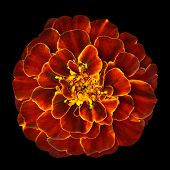 Red Orange Marigold Flower Isolated On Black Background