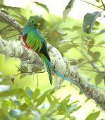 magnificent costa rican resplendent quetzal