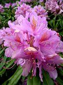 Rhododendron flower 2