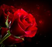 Red Rose Flower isolated on Black background. Beautiful Dark Red Rose closeup. Symbol of Love. Valen