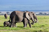 Elephants herd on African savanna. Safari in Amboseli, Kenya, Africa