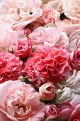 stock photo of english rose  - Background image of pink english roses bouquet - JPG