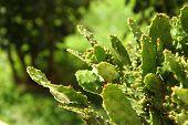 Opuntia Cactus Background