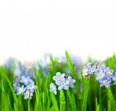 Forget-me-not blue Flowers into green Grass with water drops / isolated on white background