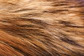 Closeup Raccoon Fur. Macro. Horizontal