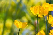 stock photo of wildflower  - Poppies Poppy flowers in California san Francisco spring garden - JPG